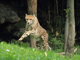 cheetah486 by redbeard31