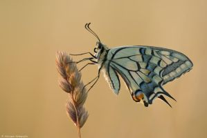 Papilio machaon IV by Aphantopus