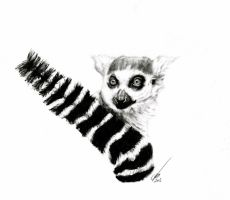 Ring-tail Lemur by salt25