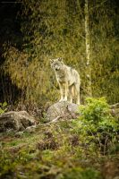 Wolf on the lookout by Oberon7up