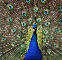 Blue Peafowl by klinone
