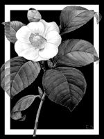 Black and White Flower Left by BL8antBand