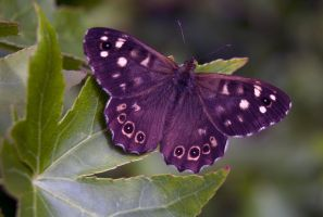 Speckled Wood (Pararge aegeria) by Steve-FraserUK
