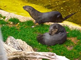 Otters by IcejCat
