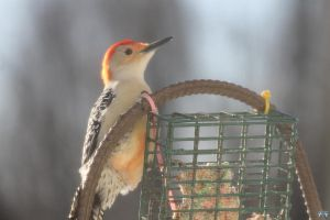 Red-Bellied Woodpecker #4 by LifeThroughALens84