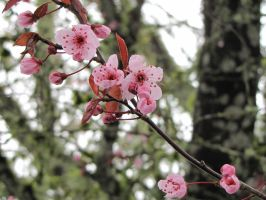 Cherry blossoms by findmeaname