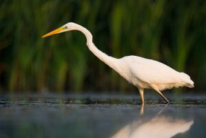 Great Egret by JMrocek