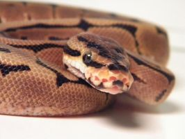 Spider Ball Python 2 by ReptileMan27