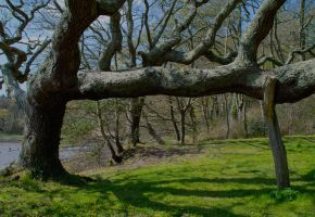 Old Oak Tree by Alz-Stock-and-Art