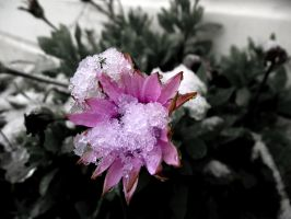 Ice Flower by Bouwland