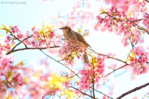 sakura bird by evenliu