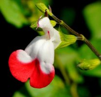 Salvia Hot Lips again by duggiehoo