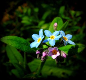 Forget-me-not, Teresa! by JocelyneR