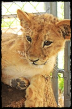 Lion Cub by shadowcolors15