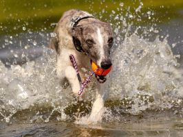 Whippets also like waterfun by DobesMom