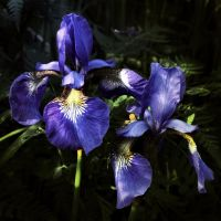 Meadow Iris by Althytrion