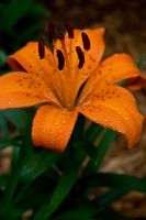 Speckled Orange Day Lily by thriftyredhead