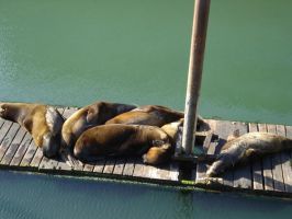 Sea Lions by firesember222