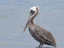 Brown Pelican by Evevilly