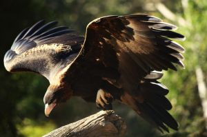 Wedge-tailed Eagle: Rise by Emmarose6
