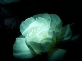 White Carnation 5 by KCarey