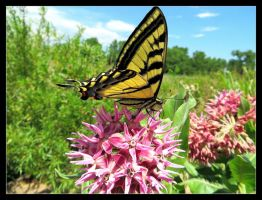 Western Tiger Swallowtail Butterfly by LifeIsToBeHappy