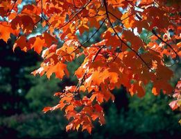 Maple Tree by valemeed79
