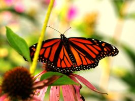 Echinacea Monarch by Yookie1