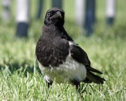 Imperious Magpie by Canislupuscorax