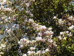 Magnolia III by weirdandproudofit
