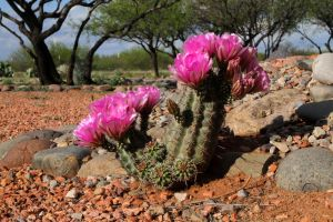 Cactus Blooms by olearysfunphotos