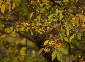 American Robin - 2 - 2013 by toshema