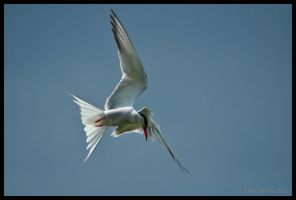 Common Tern by Somebody-Somewhere