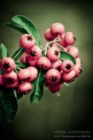 berry by ferencjanos