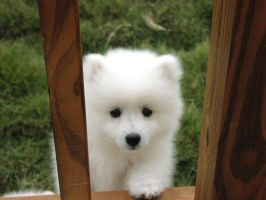 American Eskimo Pup by RaoulWolf