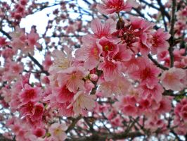 flower 261 cherry blossom by narucy