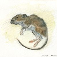 Deer Mouse by bazjra