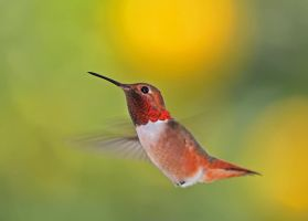 Hummingbird in flight by yo13dawg