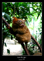tarsier by boostr29