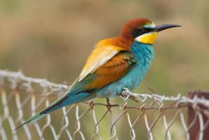 Electric Fence -European Bee-eater by Jamie-MacArthur