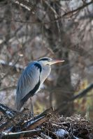 1961 - Grey Heron by Jay-Co