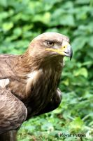 Steppenadler |  Steppe Eagle by bluesgrass