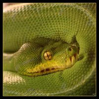 Emerald Tree Boa 3 by Globaludodesign