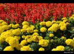 yellow and red by Iulian-dA-gallery