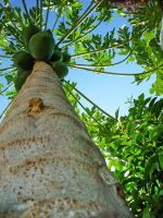 Papa's Papaya Tree by titis-pratiwi