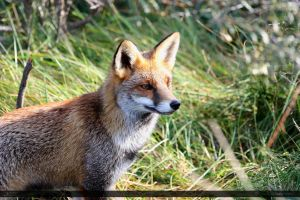 Red Fox 10 by Canisography