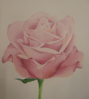 Pink Rose in pencil crayon by OrhideArt