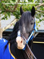 English Shire 4 by EquineStockImagery