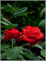 Red Roses and Rain Drops by Mogrianne