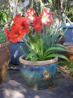 Red Lion Amaryllis and Apple Blossom Amaryllis by HouseofChabrier
